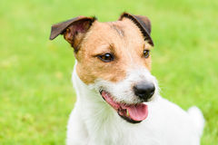Cute purebred Jack Russell Terrier dog headshot portrait Stock Image