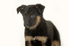 Cute purebred puppy Stock Photography
