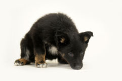 Cute purebred puppy Royalty Free Stock Photo