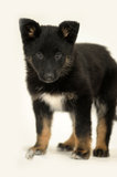 Cute purebred puppy Royalty Free Stock Photography