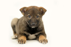 Cute purebred puppy Stock Images