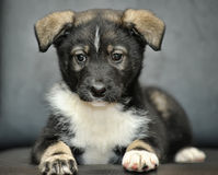 Cute purebred puppy Royalty Free Stock Photos