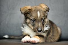 Cute purebred puppy Stock Image