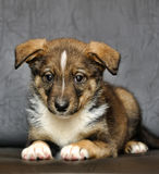 Cute purebred puppy Royalty Free Stock Images