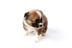 Cute purebred puppy (dog) on a white background Stock Photo