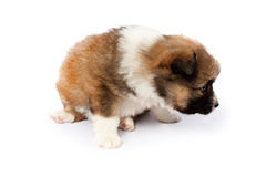 Cute purebred puppy (dog) on a white background Royalty Free Stock Photos