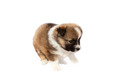 Cute purebred puppy (dog) on a white background Stock Photos