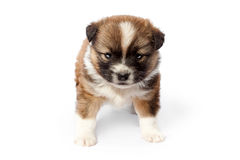 Cute purebred puppy (dog) on a white background Stock Image