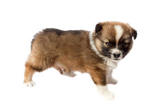 Cute purebred puppy (dog) on a white background Stock Images