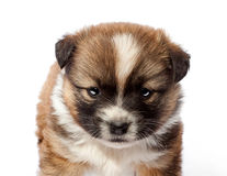 Cute purebred puppy (dog) on a white background Stock Photography