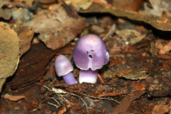 Cute Purple mushroom Royalty Free Stock Image