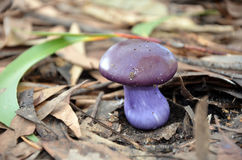 Cute purple toadstool Royalty Free Stock Photo