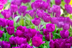 Cute purple tulip flower blossom. In garden Royalty Free Stock Photo