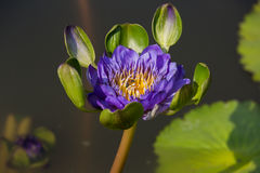 Cute purple water lily Royalty Free Stock Photography