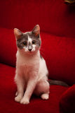 Cute cat. Cute white cat sitting on a couch and staring at camera Stock Images