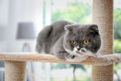 Cute pussycat on cat tree. At home royalty free stock image