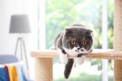 Cute pussycat on cat tree. At home royalty free stock photography
