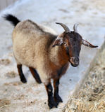 Cute Pygmy Goat. A friendly brown pygmy goat in a petting zoo Stock Photo