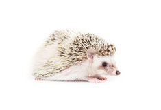 Cute Pygmy Hedgehog. Picture of a Pygmy Hedgehog royalty free stock photos