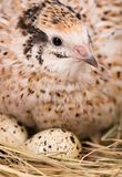 Cute quail Stock Image