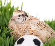 Cute quail Stock Photo