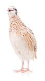 Cute quail Royalty Free Stock Photos