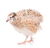 Cute quail Stock Photos