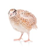 Cute quail Royalty Free Stock Image