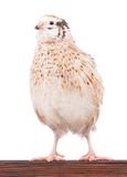 Cute quail Royalty Free Stock Photography