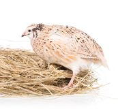 Cute quail Stock Images