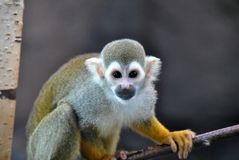 Cute quirrel monkey looking at the camera royalty free stock photo