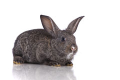 Cute rabbit Royalty Free Stock Photo