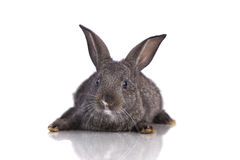 Cute rabbit Royalty Free Stock Photography