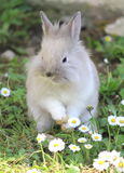 Cute Rabbit. Baby rabbit sitting in the daises Stock Image