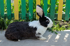 Cute rabbit on a background of yellow-green fence Royalty Free Stock Images
