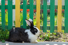 Cute rabbit on background of yellow-green fence and red tulips. Cute black and white bunny rabbit on a background of yellow-green fence and red tulips Stock Images