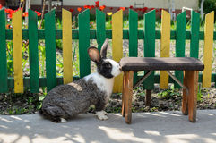 Cute rabbit on background of yellow-green fence and red tulips. Cute bunny rabbit with old stool on a background of yellow-green fence and red tulips Royalty Free Stock Photo