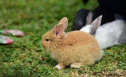 Little rabbits are tricky in the garden. Cute rabbit, brown and white rabbit, mother and baby, walking in the lawn Royalty Free Stock Image