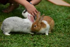 Little rabbits are tricky in the garden. Cute rabbit, brown and white rabbit, mother and baby, walking in the lawn Stock Photo