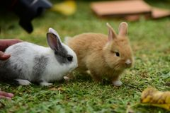 Little rabbits are tricky in the garden. Cute rabbit, brown and white rabbit, mother and baby, walking in the lawn.nLittle rabbits are tricky in the garden Royalty Free Stock Image