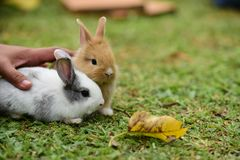 Little rabbits are tricky in the garden. Cute rabbit, brown and white rabbit, mother and baby, walking in the lawn.nLittle rabbits are tricky in the garden Stock Image