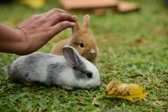 Little rabbits are tricky in the garden. Cute rabbit, brown and white rabbit, mother and baby, walking in the lawn.nLittle rabbits are tricky in the garden Stock Photography