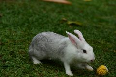 Little rabbits are tricky in the garden. Cute rabbit, brown and white rabbit, mother and baby, walking in the lawn.nLittle rabbits are tricky in the garden Stock Photos
