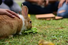 Little rabbits are tricky in the garden. Cute rabbit, brown and white rabbit, , walking in the lawn.nLittle rabbits are tricky in the garden.nRabbit on fresh Stock Image