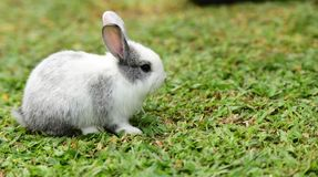 Little rabbits are tricky in the garden. Cute rabbit, brown and white rabbit,, walking in the lawn.nLittle rabbits are tricky in the garden.nRabbit on fresh Stock Photos
