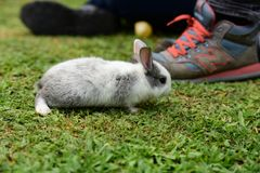 Little rabbits are tricky in the garden. Cute rabbit, brown and white rabbit,  walking in the lawn.nLittle rabbits are tricky in the garden.nRabbit on fresh Royalty Free Stock Images
