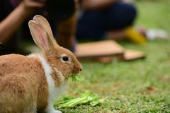 Little rabbits are tricky in the garden. Cute rabbit, brown and white rabbit,  walking in the lawn.nLittle rabbits are tricky in the garden.nRabbit on fresh Stock Image