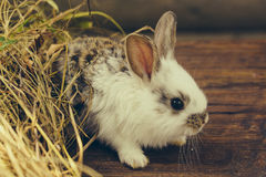 Cute rabbit domestic pet Stock Photography