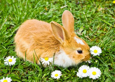 Cute rabbit eating. Baby rabbit eating flowers on green grass Royalty Free Stock Images