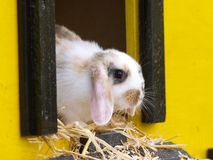 Cute Rabbit. A cute rabbit with floppy ears sits inside its hutch Stock Images